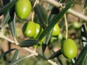 agouromanakolia